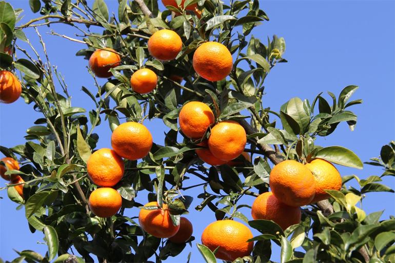 Fiesta de la mandarina
